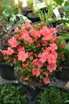 AZALÉE du Japon 'Blaauw's Pink'