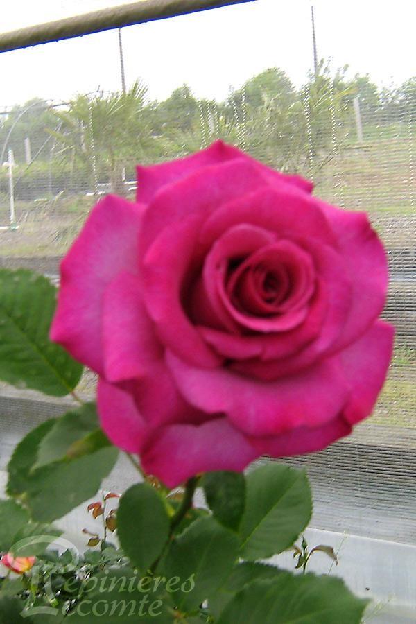 ROSIER Violette Parfumée ® (Tige)