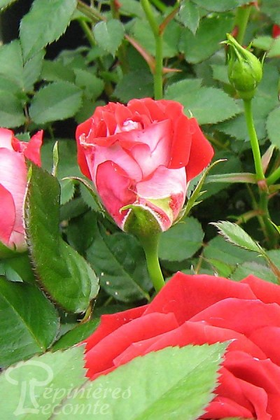 ROSIER Maidy Rose ®