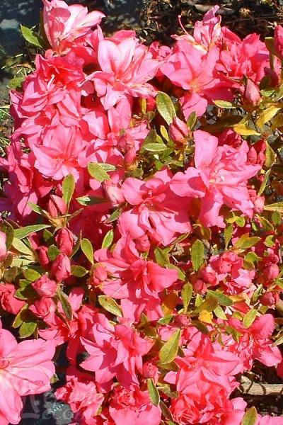 AZALÉE du Japon 'Rosa King'