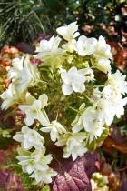 HORTENSIA Snowflake® Brido