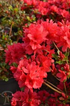AZALÉE du Japon 'Hino Crimson'