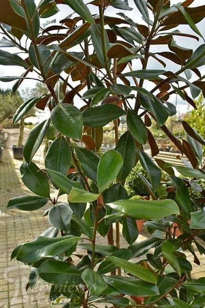MAGNOLIA Grandiflora Nantais