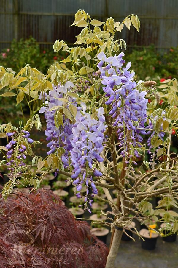 GLYCINE de Chine 'Prolific'