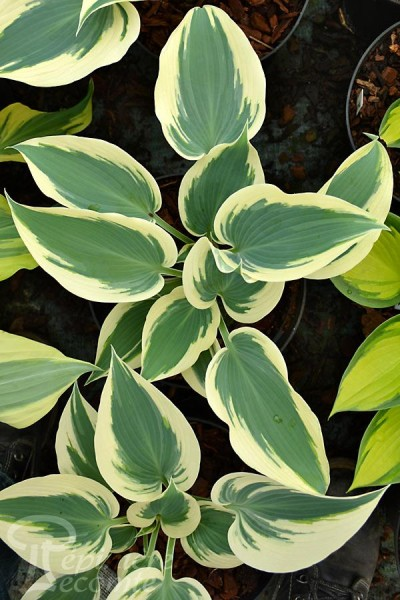HOSTA 'Great Escape'
