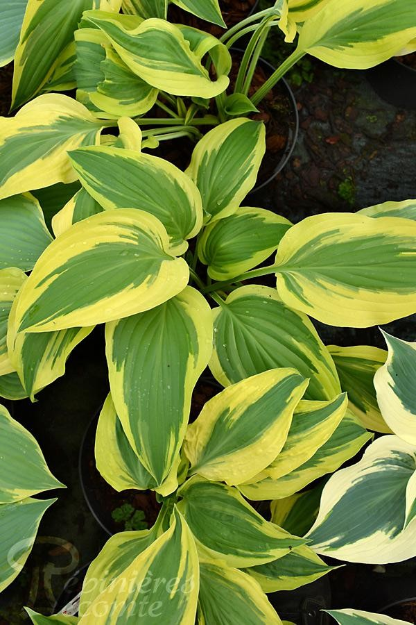 HOSTA 'Lakeside Dragonfly'