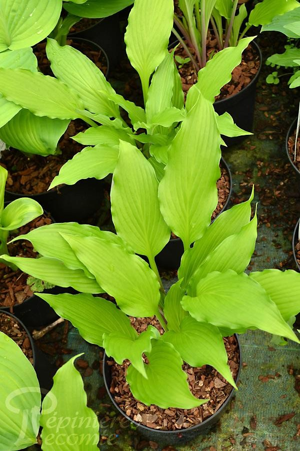 HOSTA 'Red Dog'