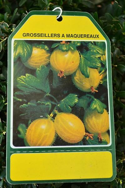GROSEILLER à Maquereaux