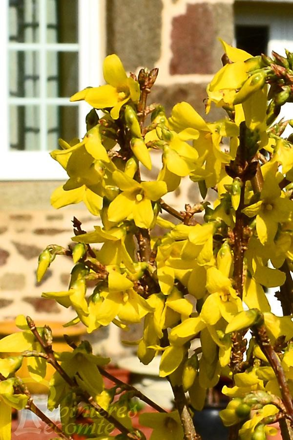 FORSYTHIA  Week-End® Courtalyn