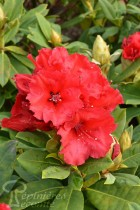 RHODODENDRON hybride Red Jack