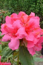 RHODODENDRON hybride Anna Rose Whitney