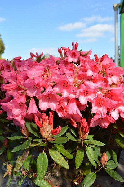 RHODODENDRON nain Winsome