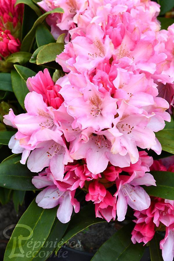 RHODODENDRON Yakushimanum Pink Cherub