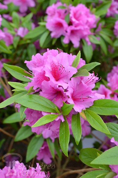 AZALÉE du Japon 'Purple Splendor'