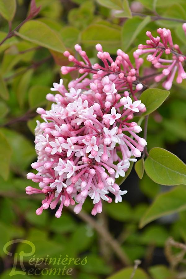 LILAS de Chine Superba