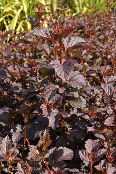 PHYSOCARPE à feuilles d'Obier Diabolo