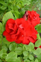 ROSIER Lily Marleen ® (Grimpant)