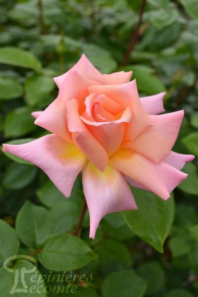 ROSIER Belle de Londres ® (Grimpant)