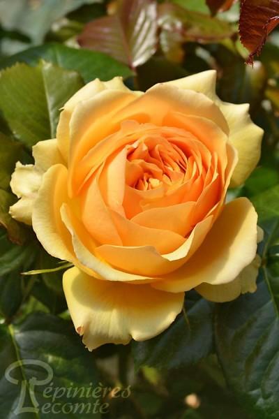 ROSIER Amber Queen ®