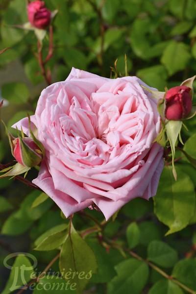 ROSIER Blossom Time