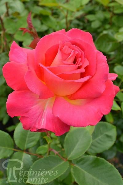 ROSIER Yvette Horner ® (Tige)