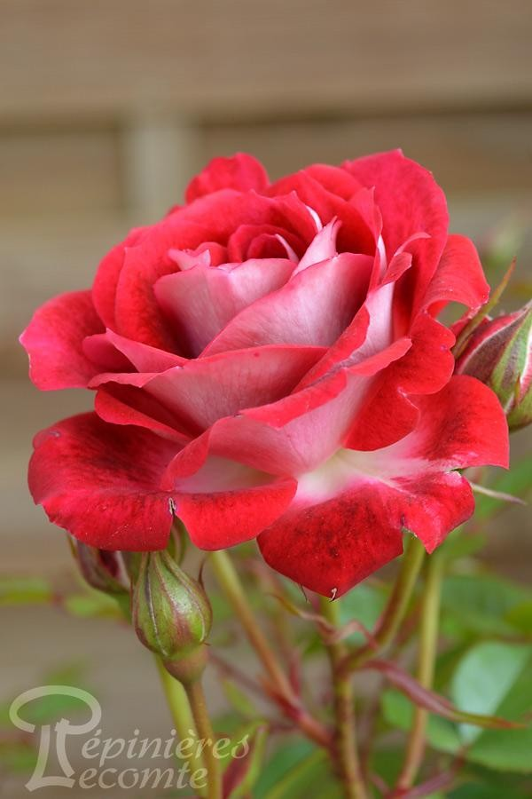 ROSIER Maidy Rose® (Tige)