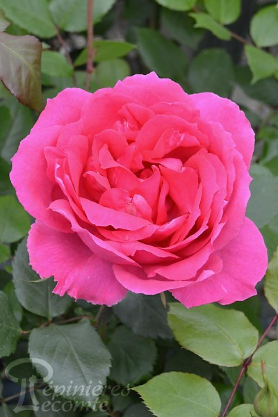 ROSIER Pink Cloud (Grimpant)