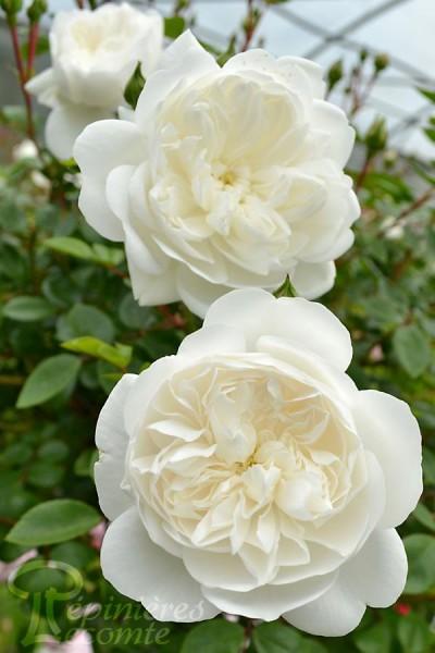 ROSIER Snow Ballet ® (Tige)