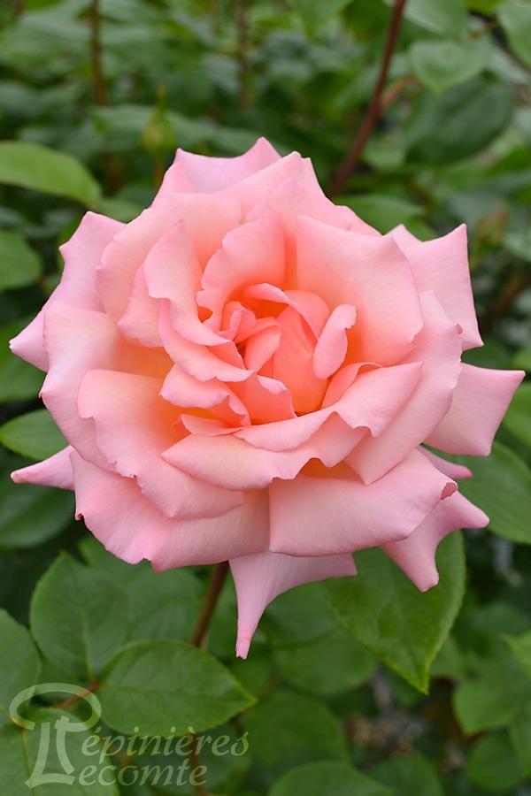 ROSIER Belle de Londres® (Grimpant)