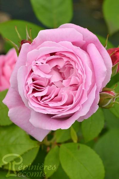 ROSIER Marie Rose ®