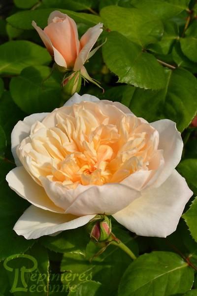 ROSIER Jane Austen ®