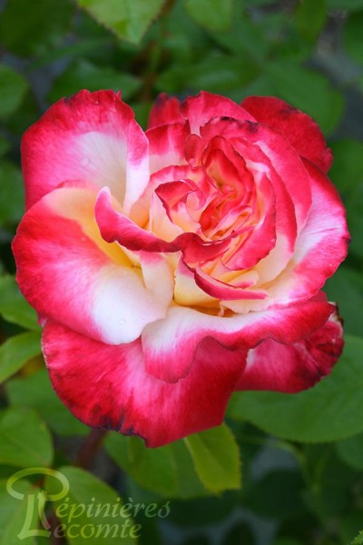 ROSIER Double Delight ® (Tige)