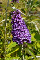 BUDDLEIA de David 'Purple Emperor'