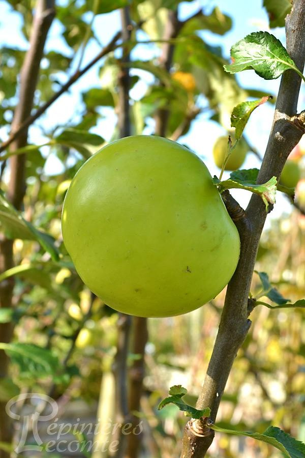 POMMIER Granny Smith