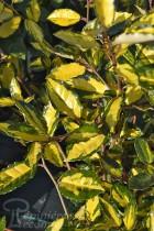 ELAEAGNUS Maculata Aurea