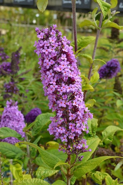BUDDLEIA de David 'Peacock Peakeep'