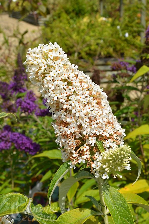 BUDDLEIA de David 'Marbled White'