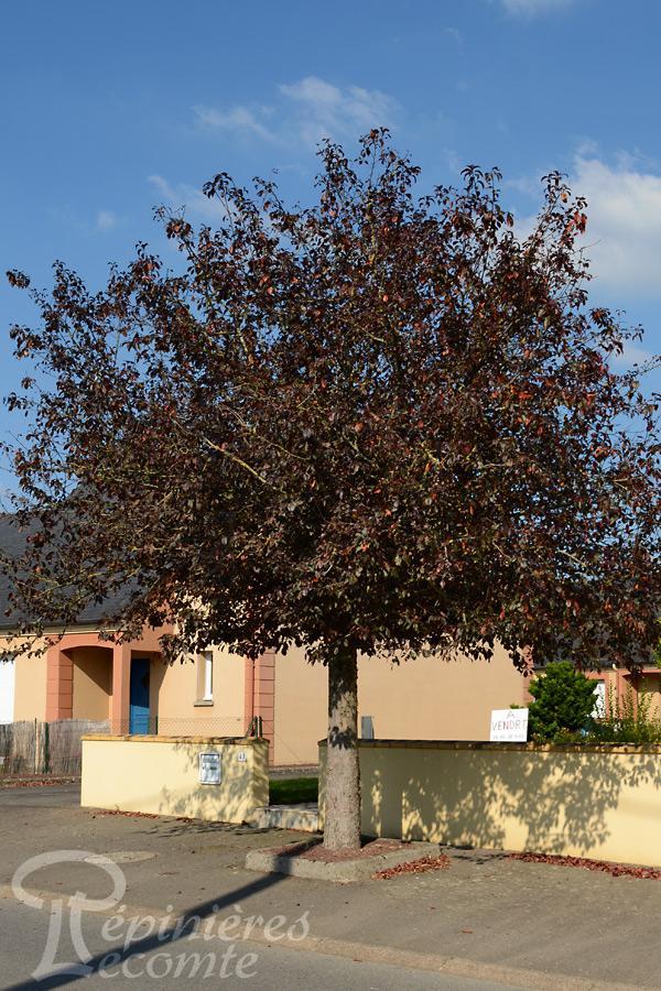 Pommier fleurs pourpre p pini re lecomte - L arbre le pommier ...