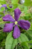 CLÉMATITE Hybride 'Etoile Violette'