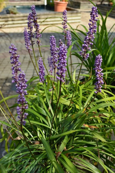 LIRIOPE Muscaris Big Blue