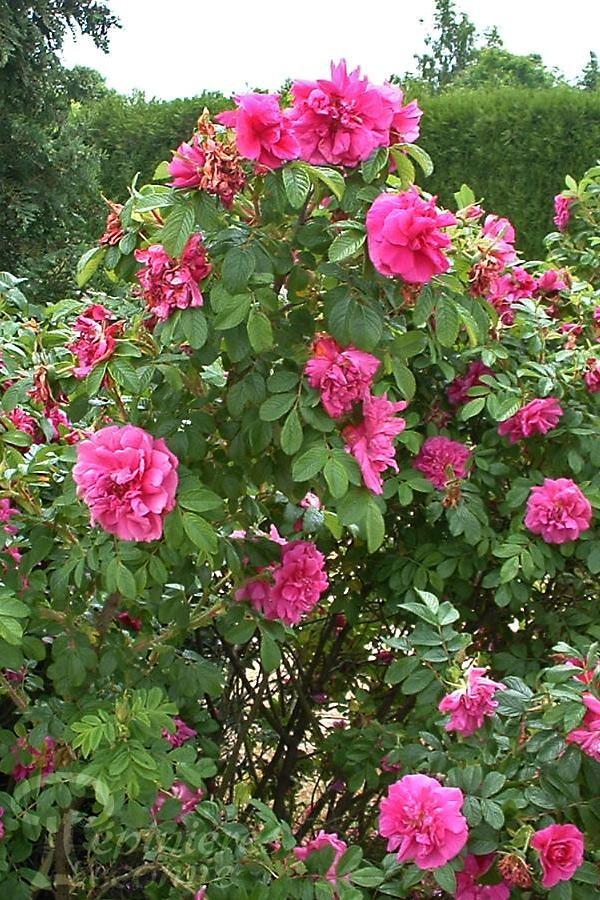 ROSIER Rose à Parfum de L'Hay