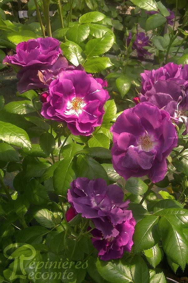 ROSIER Rhapsody in Blue ®