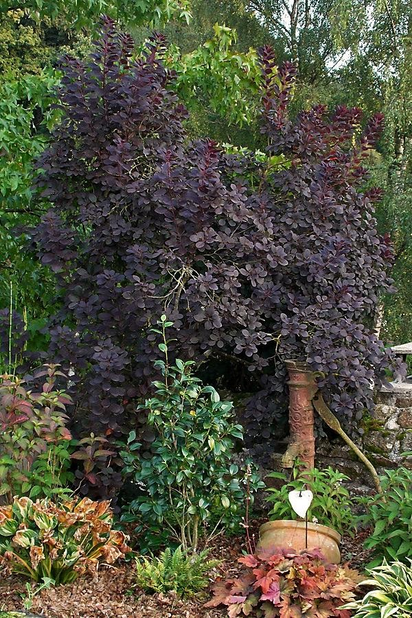 Arbre à Perruque 'Royal Purple'