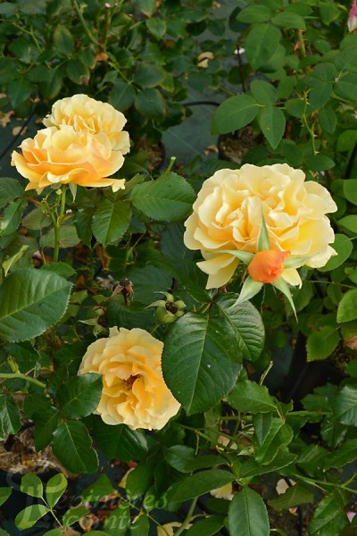 ROSIER Amber Queen ® (Tige)