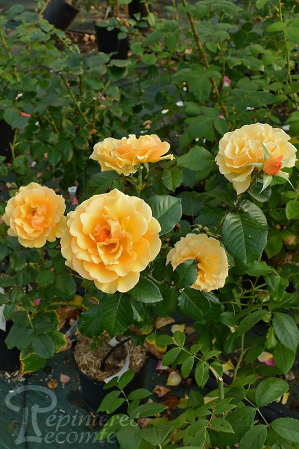 ROSIER Amber Queen® (Tige)