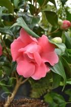 CAMÉLIA japonica 'Kamasuka'