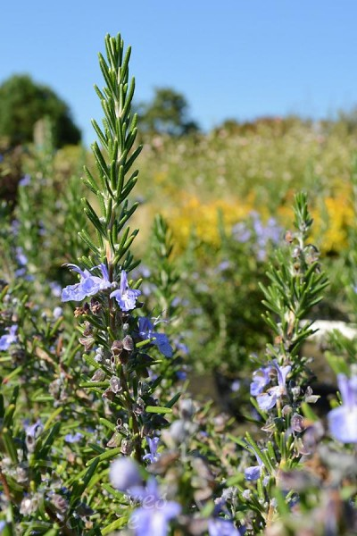 ROMARIN Officinal 'Corsican Blue'