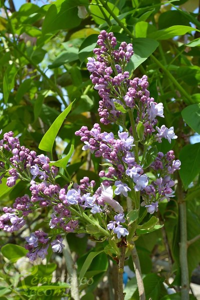 LILAS 'Katherine Havemeyer'