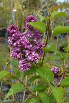 LILAS 'Charles Joly'