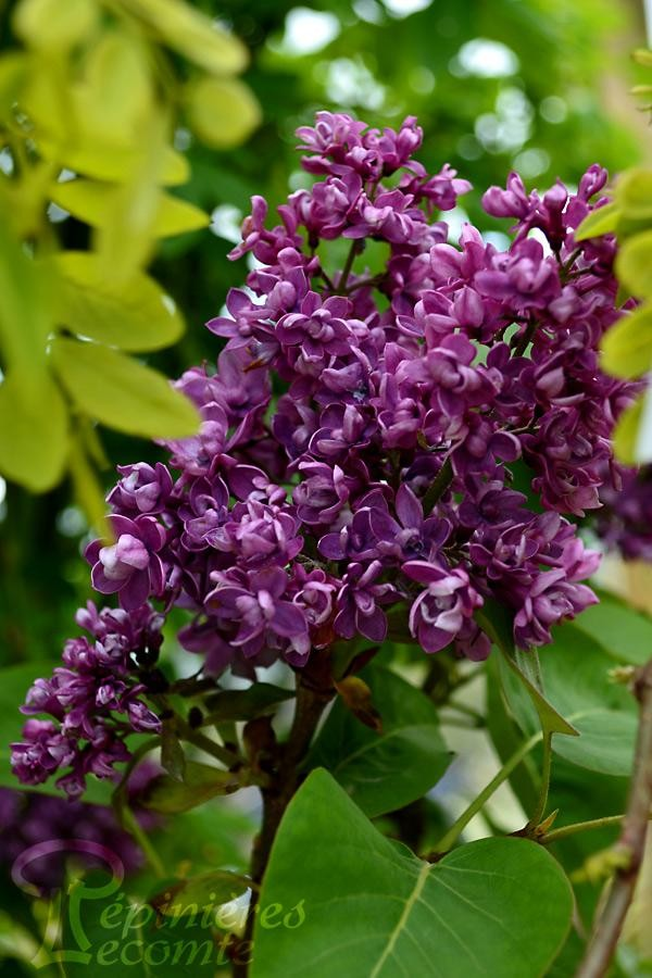 LILAS 'Arthur William Paul'